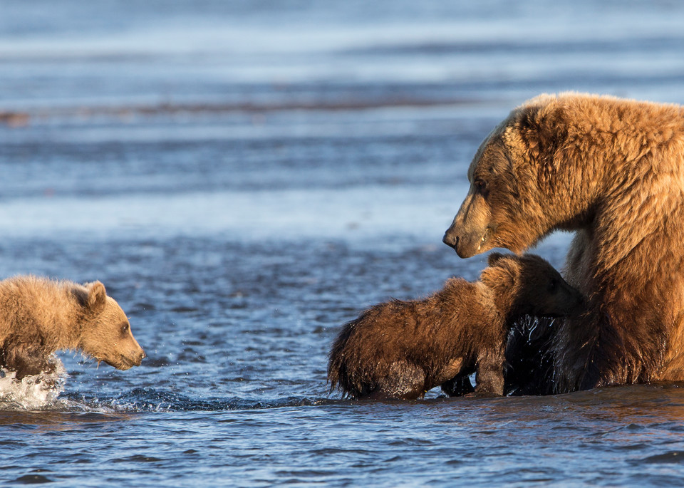 brown bear cubs, nursing, Alaska, Silver Salmon Creek