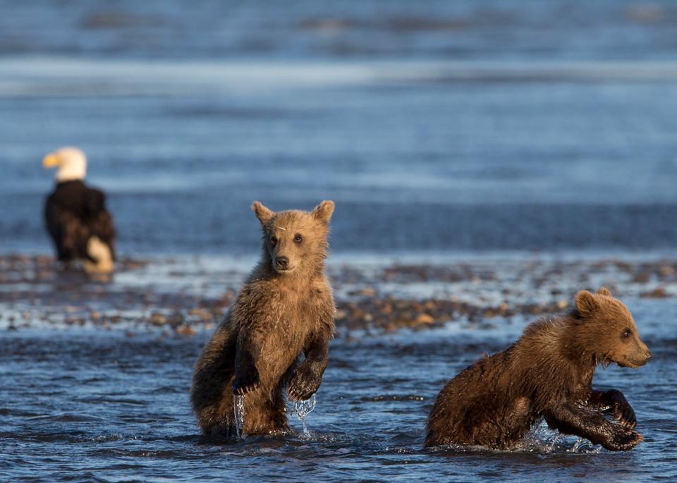 Brown bear cubs, bald eagle, Alaska