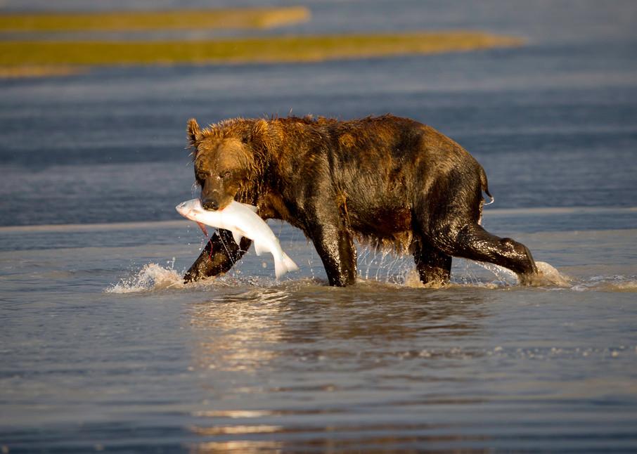 bear catching salmon, Alaska, brown bears