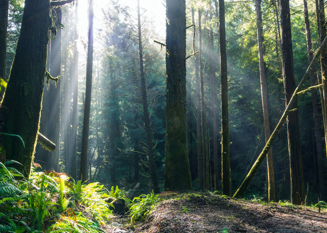 Forest Rays Fine Art Photography Print