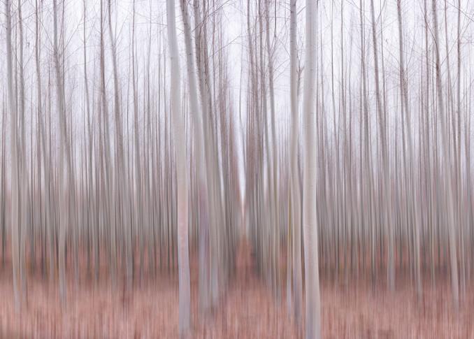 Pastel Grove, Aspen Tree Grove Landscape Print by Brad Scott