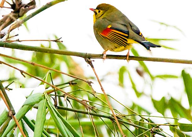 Pekin Robins And Chinese Birds 009 Photography Art | Cheng Yan Studio