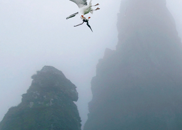 Puffins And Sea Birds 018 Photography Art | Cheng Yan Studio