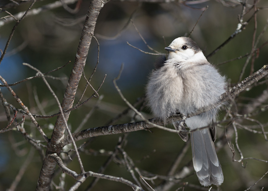 Fluffy Gray Jay