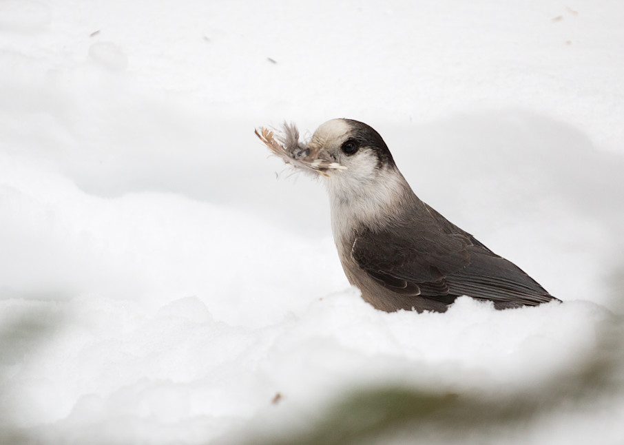 Gray Jay gathering feathers to line its nest