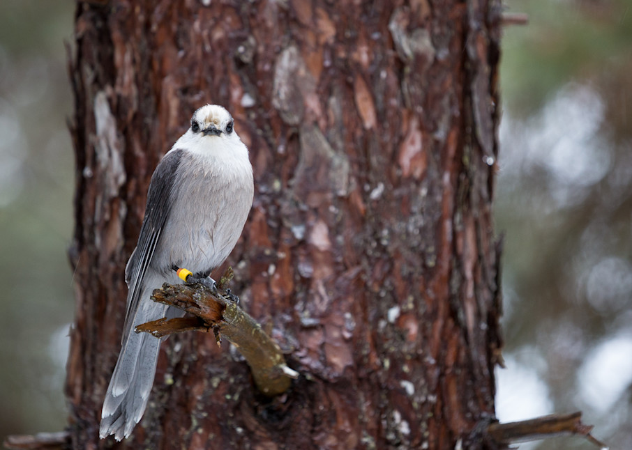 Gray Jay perched in a tree 2