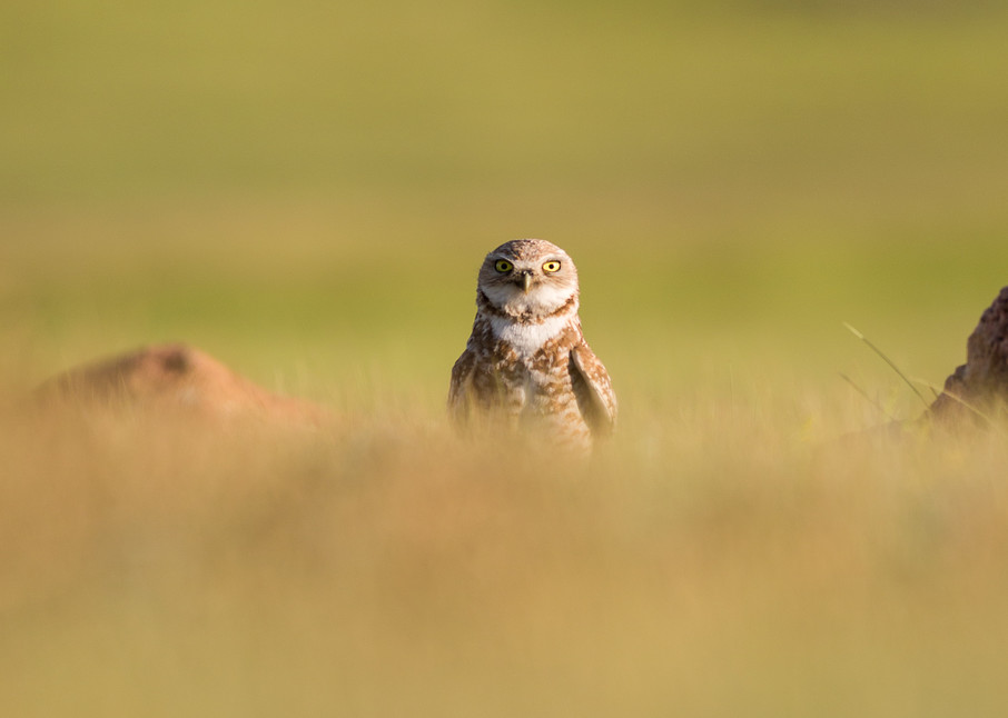 Burrowing owl peek-a-boo
