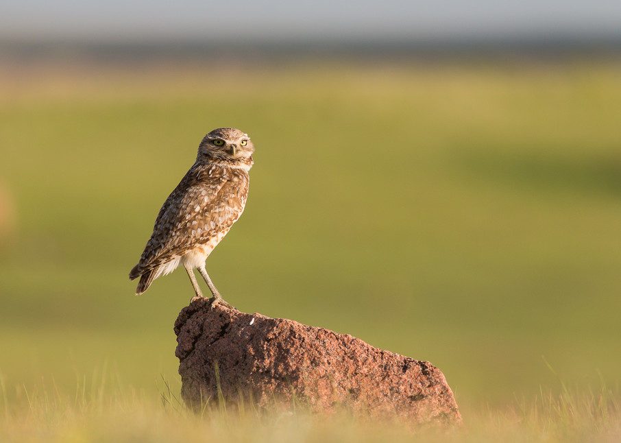 Burrowing owl #1