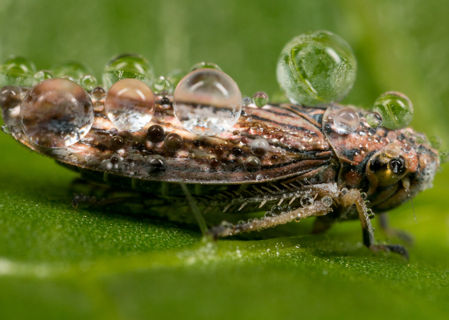 Sharpshooter leafhopper covered in dew