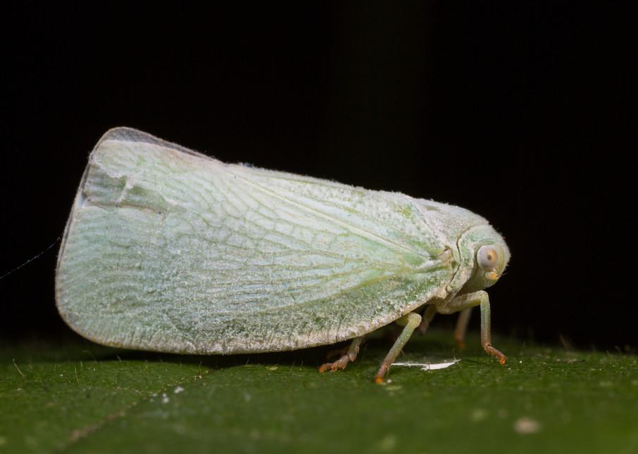 Northern flatid planthopper
