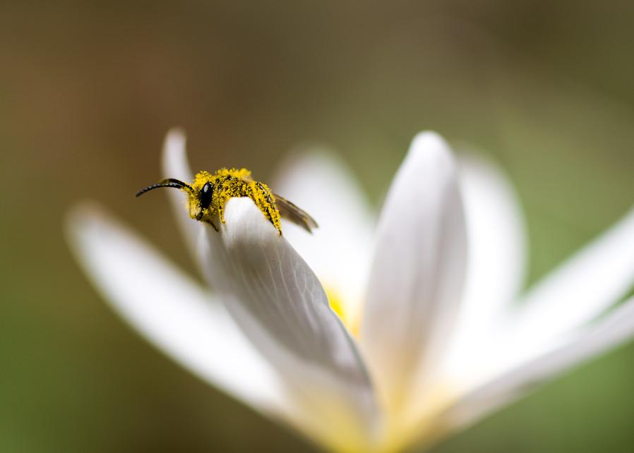 Pollen dipped