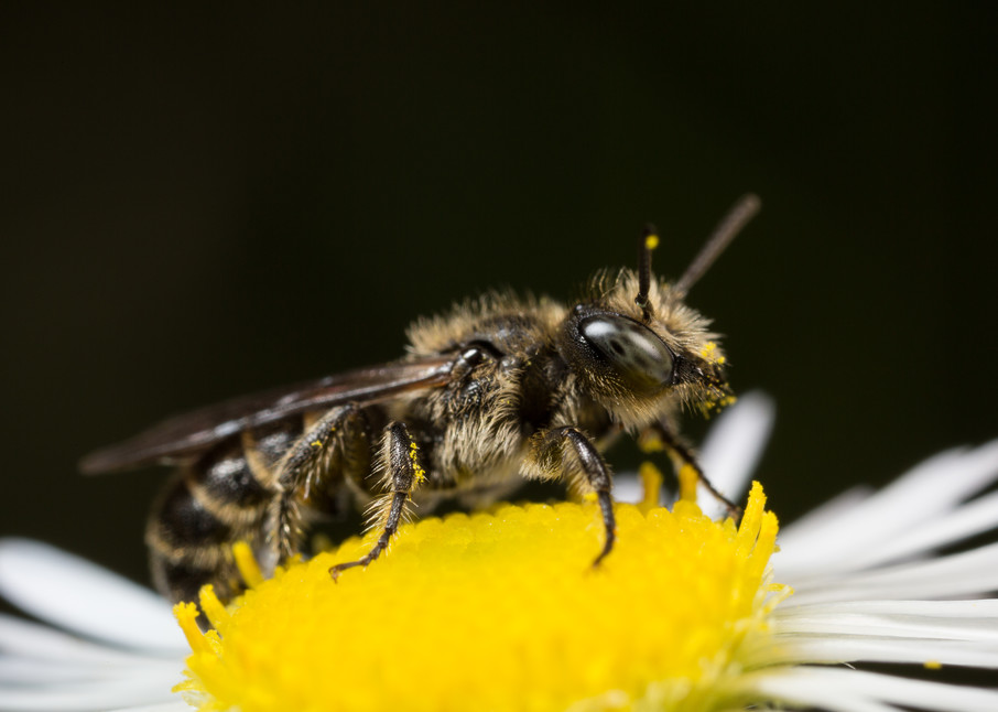 Solitary bee #1