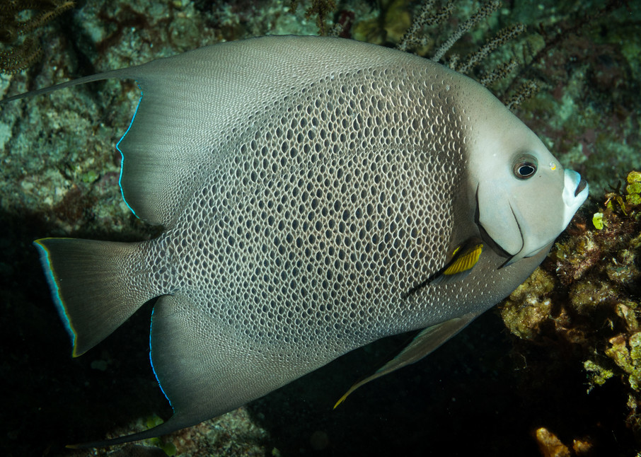 Grey Angelfish