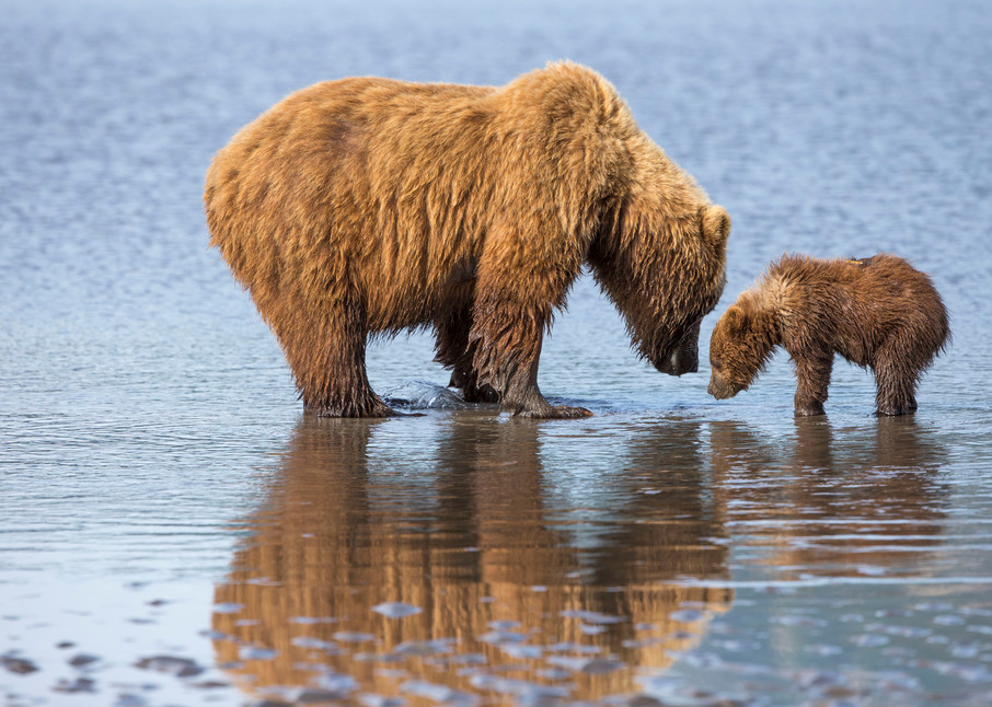 mother bear, cub, Alaska, reflection