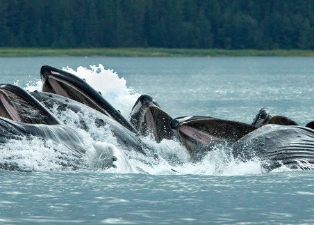 bubble net feeding, humpback whales, Alaska