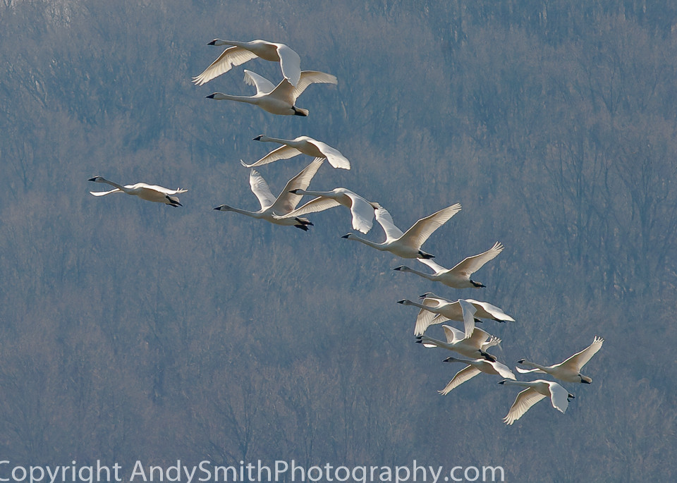 fine art photograph of Tundra Swans in Flight at Sunrise