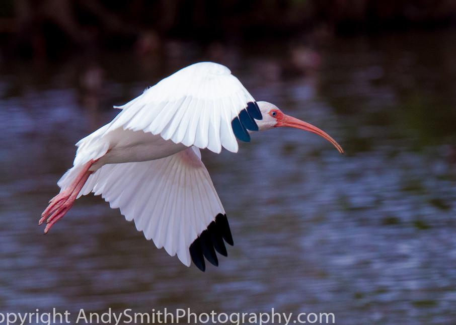 fine art photograph of white ibis in flight