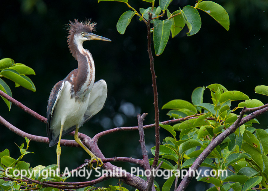 fine art photograph of Tri-colored Heron in a Tree