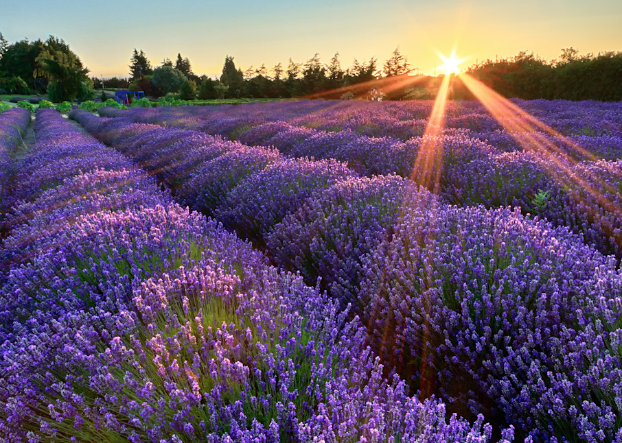 """Jardin du Soleil"" Fine art Olympic Peninsula, Sequim, Washington lavender farm photograph"