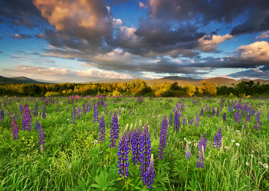 """Sugar Hill Sunset"" New Hampshire mountains lupine flowers photograph"