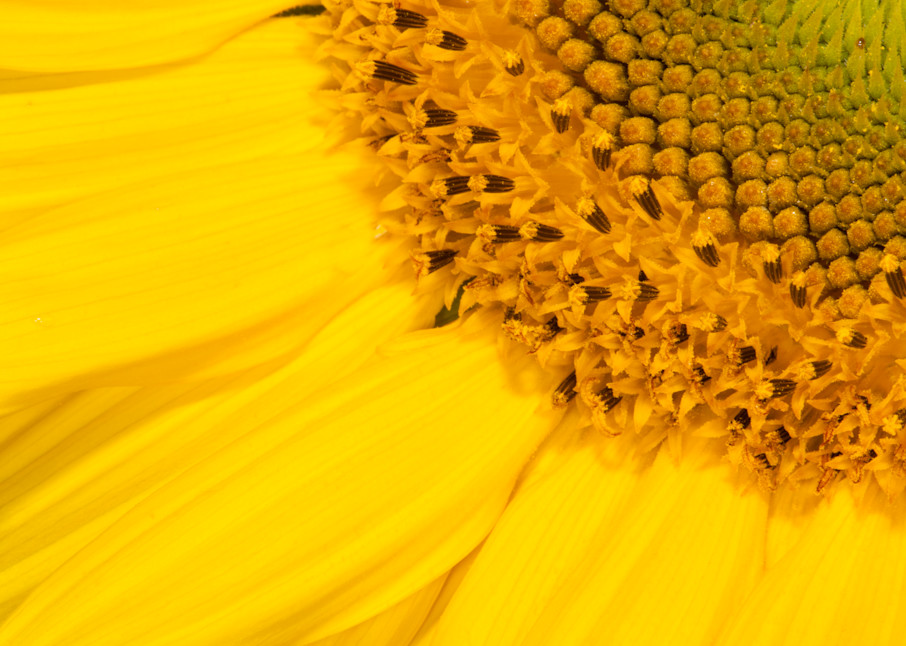 Sunny Sunflower photograph for sale as Fine Art