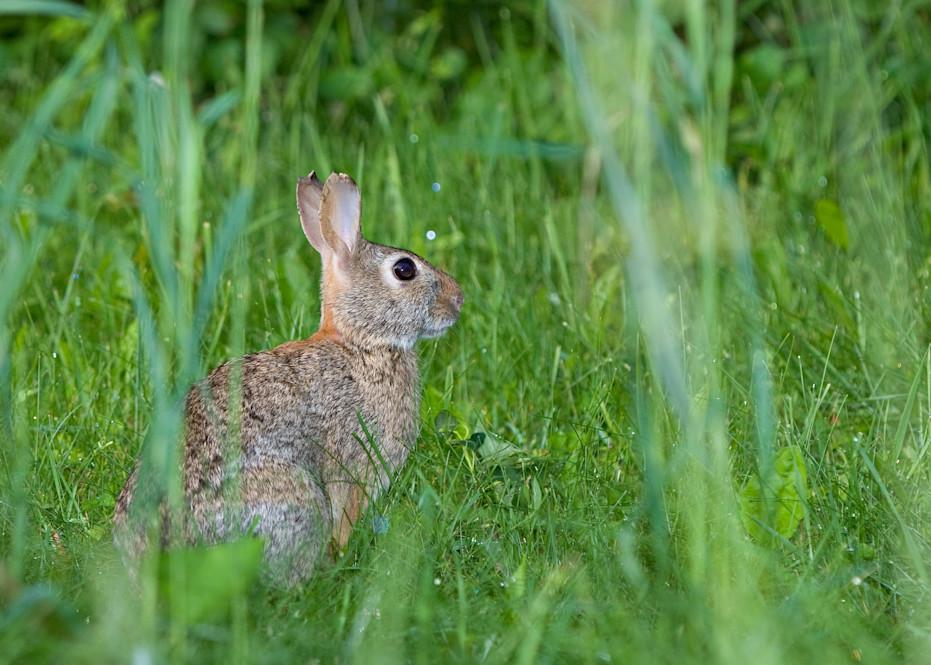 Cottontail Rabbit photograph for sale as Fine Art.