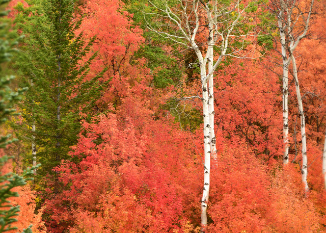 Aspen Rouge - Quaking Aspen and Red Maple Photographs Palisades Idaho - Fine Art Prints on Metal, Canvas, Paper & More By Kevin Odette Photography