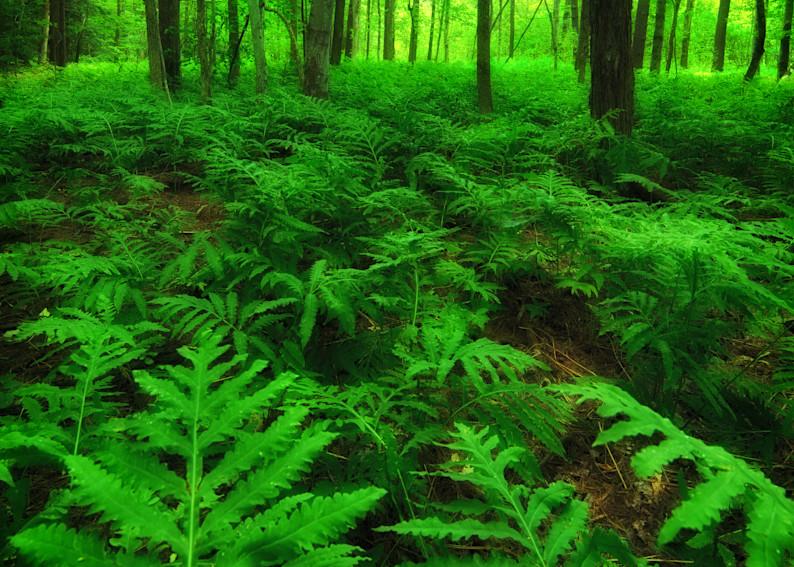 Pine barren ferns in Bradford, NH.