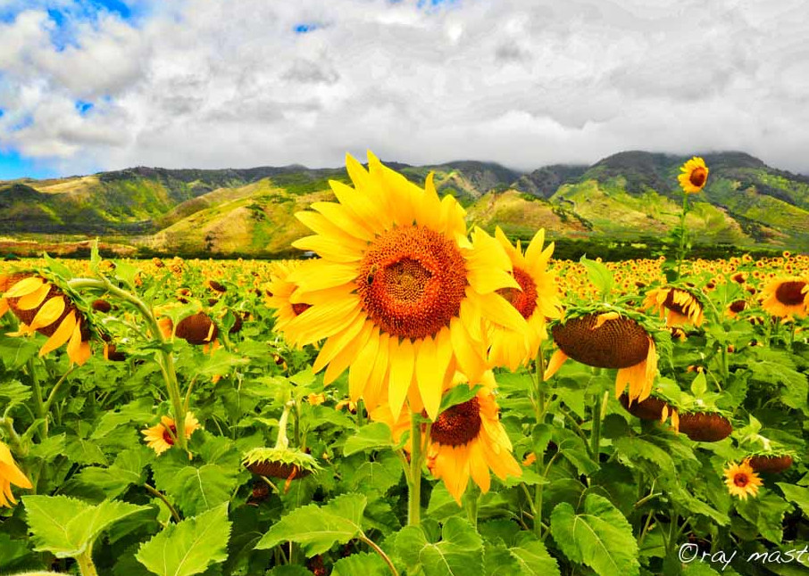 Bee on a Sunflower on Maui Hawaii