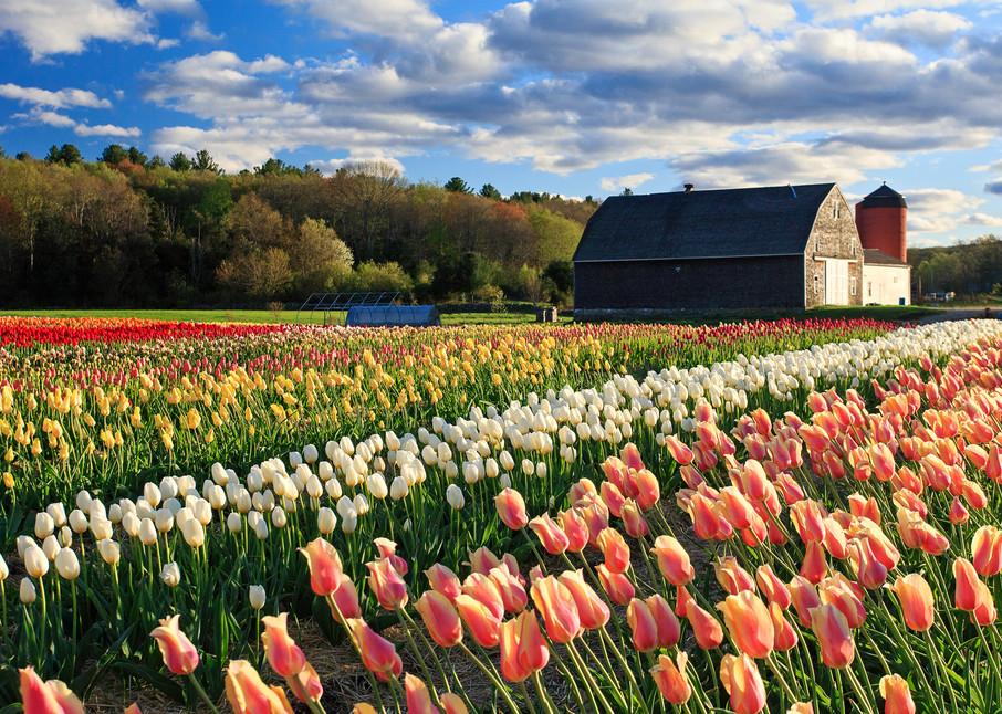 """Wicked Tulips"" Rhode Island Spring Flowers Fine Art Photograph"