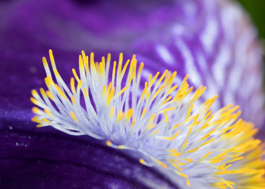 "Bearded Iris' ""beard"" at 2x, image #2 - fine art photograph"