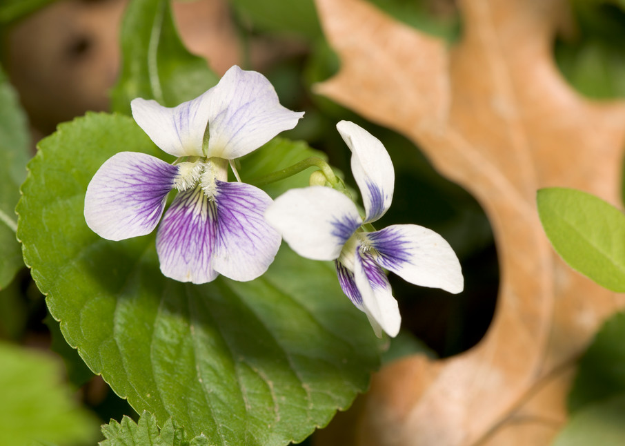 Wild White Violets among the leaves - fine art photographs