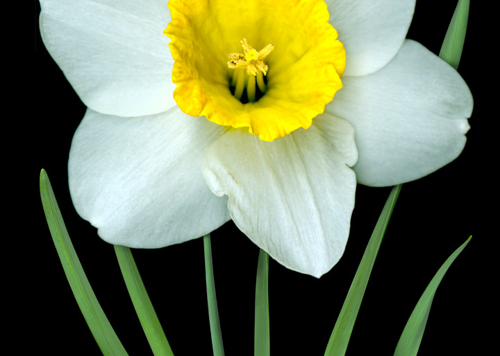 Single White Daffodil on a Black. Contemporary ultra high resolution wall art. A print of an original artwork by Mary Ahern Artist.