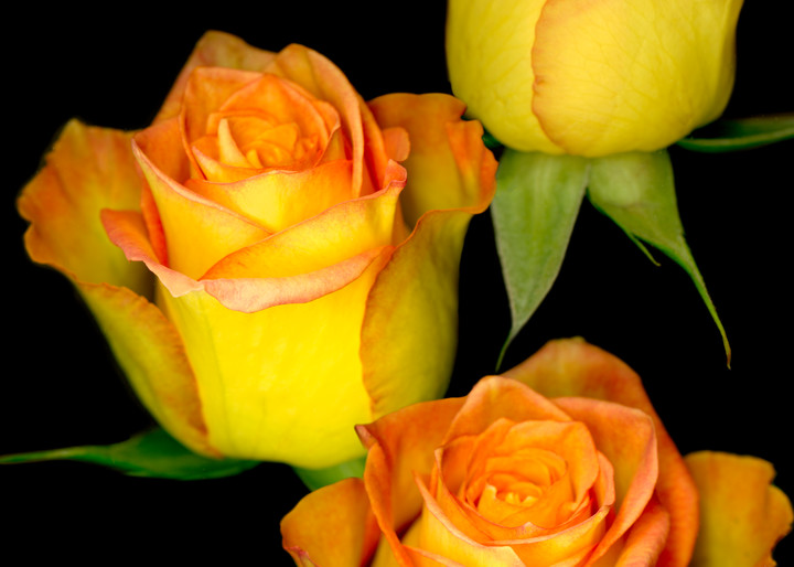 Triple Yellow Roses on black. Contemporary ultra high resolution wall art. A print of an original artwork by Mary Ahern Artist.