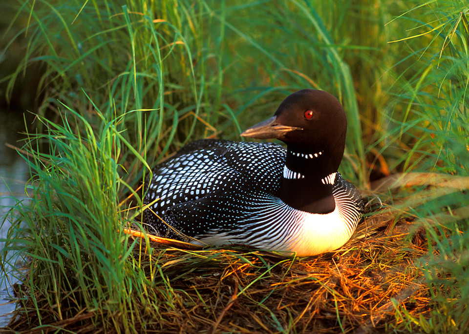 common loon,  nest, wild bird, leech lake, minnesota state bird