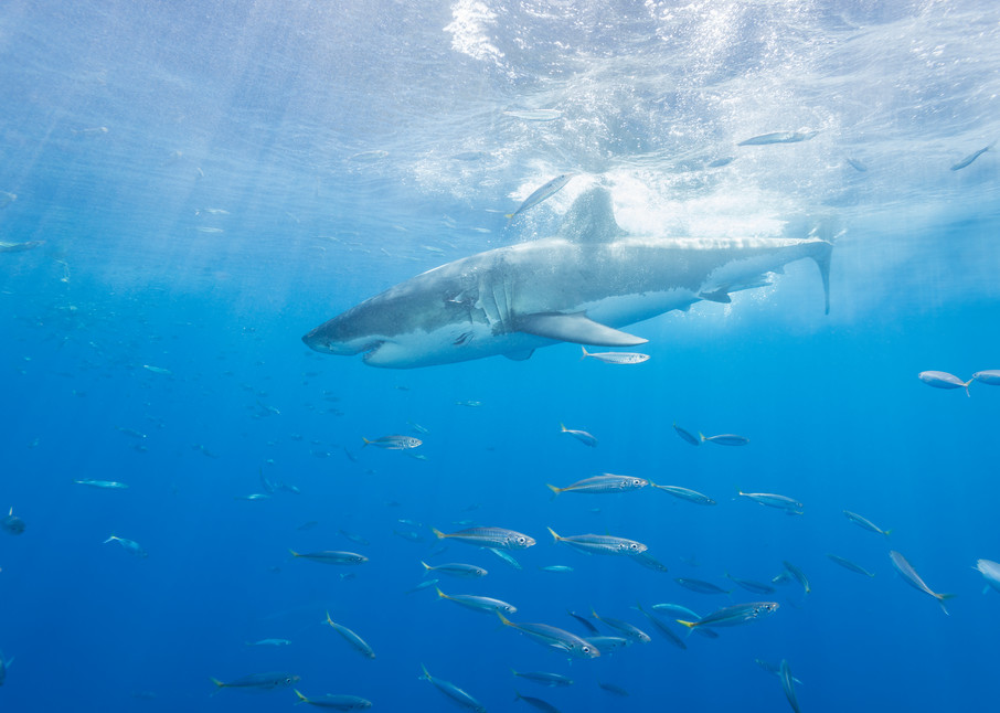 Great White Shark Breaks Surface, Guadalupe Island, Mexico