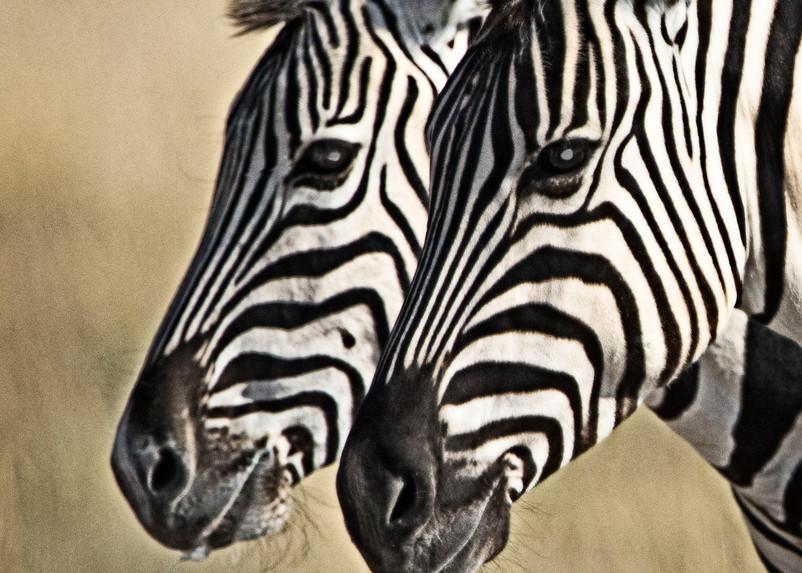 Zebras Gazing Photography Art | Images2Impact