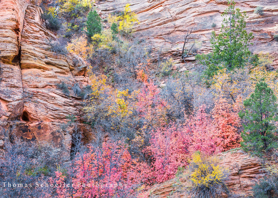 Zion National Park Fine Art Gallery mount prints/Autumn foliage clings to the Canyon Walls