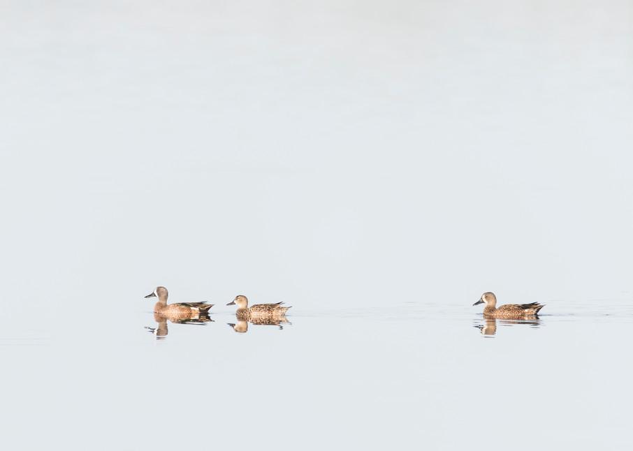 Blue-winged Teal Ducks, Sanibel Island, Florida