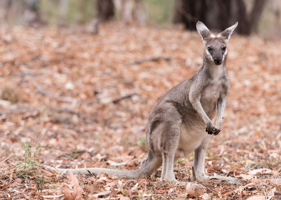 Whiptail Wallaby, Undara, Australia