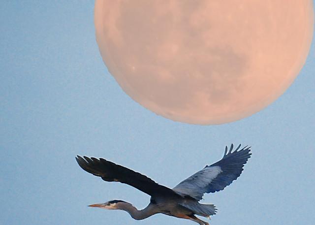 Rising Moon Heron Photography Art   Images2Impact