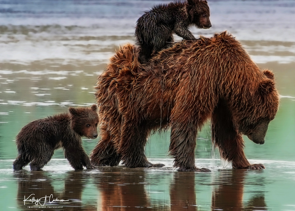 Bear Cubs with Mother Sow on Beach