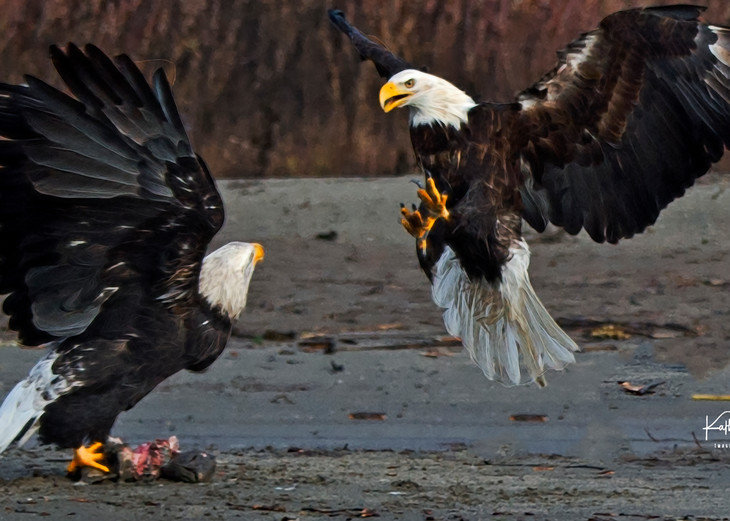 Fighting Eagles Photography Art | Images2Impact
