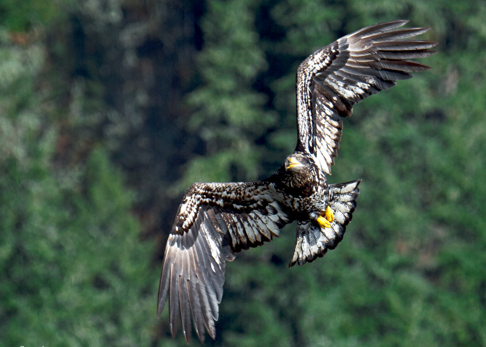 Juvenile In Flight Photography Art | Images2Impact