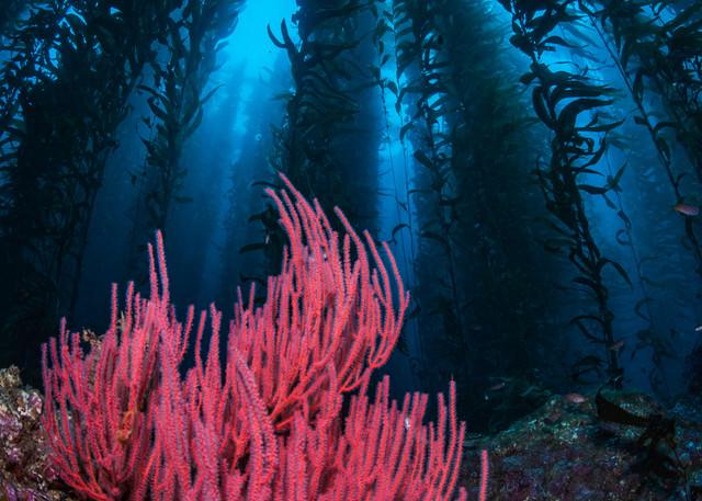 Gorgonian and Kelp