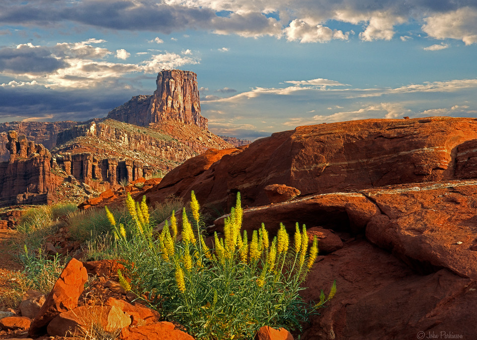 Prince's plume thrives in the red rocks of Canyonlands