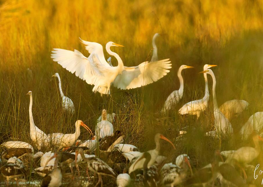 Constance Mier Photography - Florida Birds