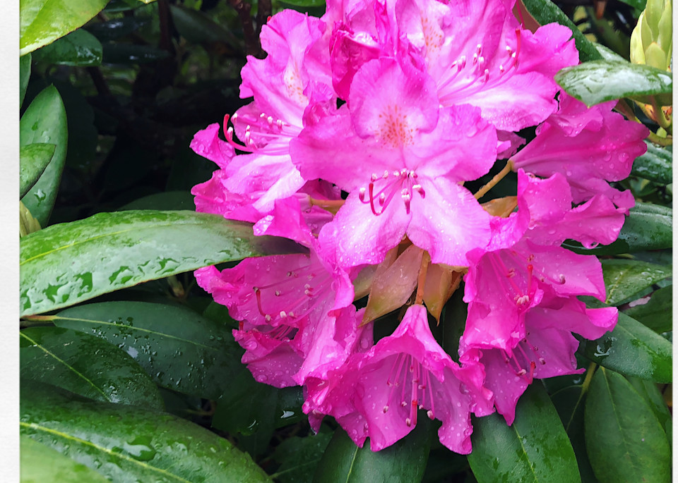 Rhododendron Instagram Print