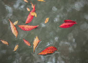 Red Leaves On Water Photography Art | Vincent DiLeo Fine Art Photography