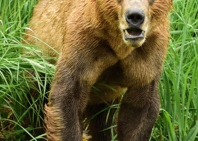 Emergent Bear - Katmai Alaskan Photographs - Alaska Brown Bears - Fine Art Prints on Metal, Canvas, Paper & More By Kevin Odette Photography